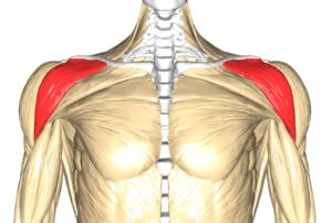 deltoide-anteriore